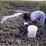 A person with a bucket bending over to look at an oyster reef in a salt marsh at low tide.