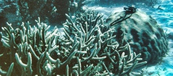 underwater image of Caribbean coral