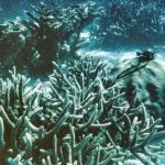 Staghorn corals on a coral reef.