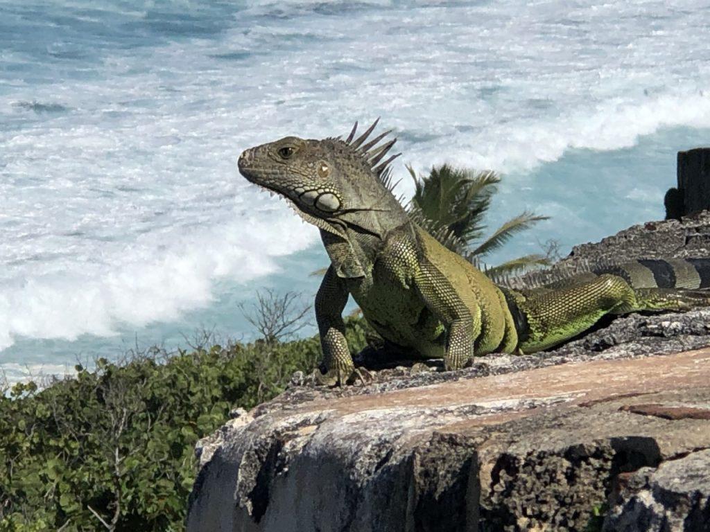 Iguana on rock near the ocean